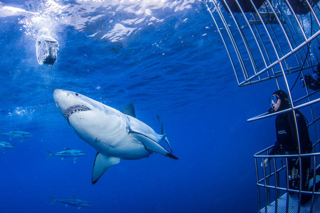 How intelligent are great white sharks?