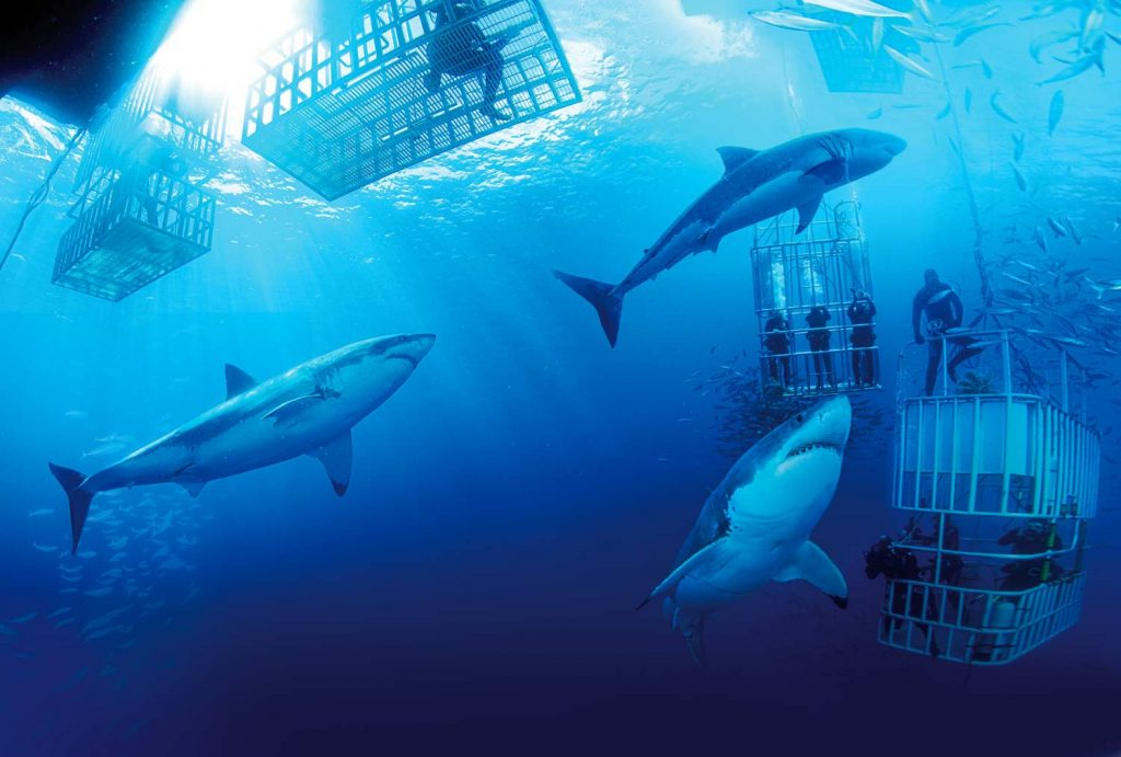 Shark cage diving, great whites swimming around the cages.