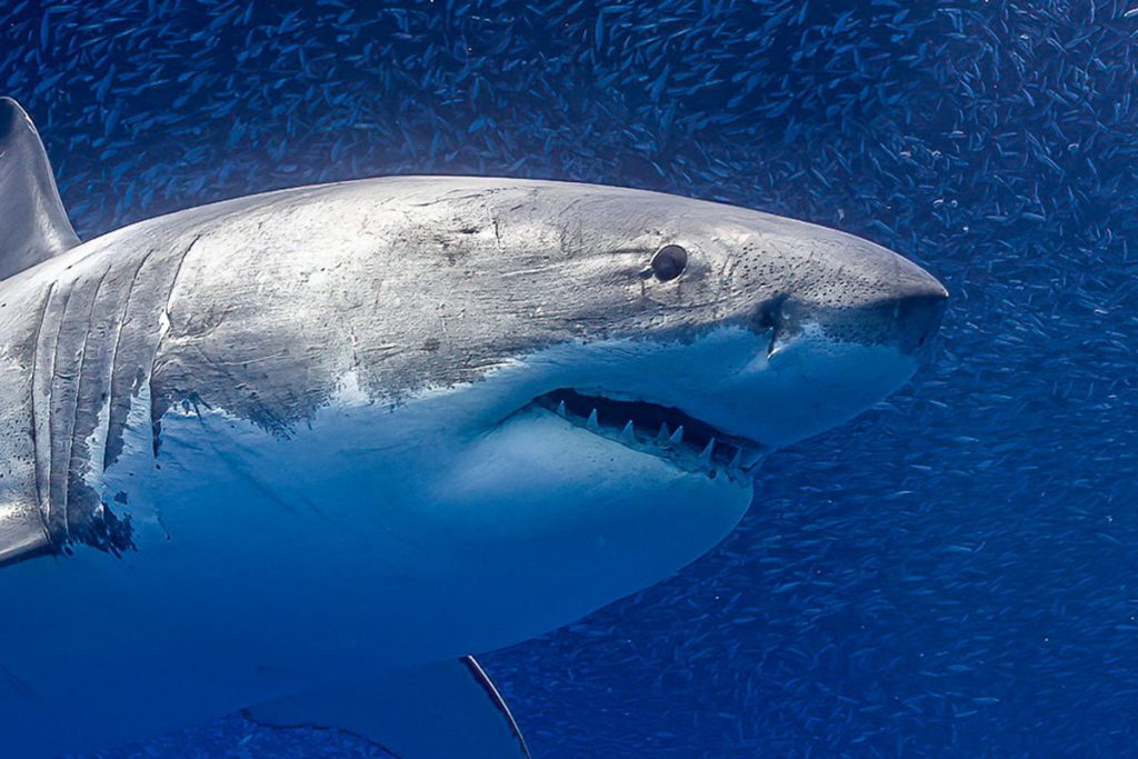 What is the color of great white sharks eyes?