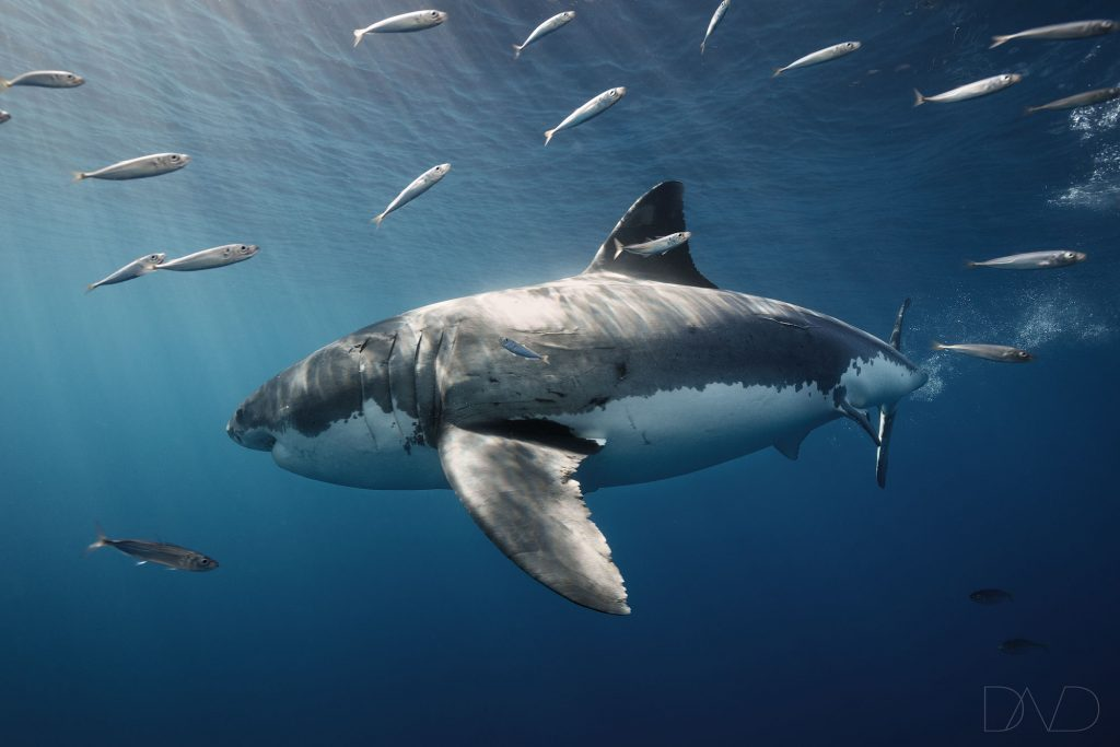 White shark population endangered