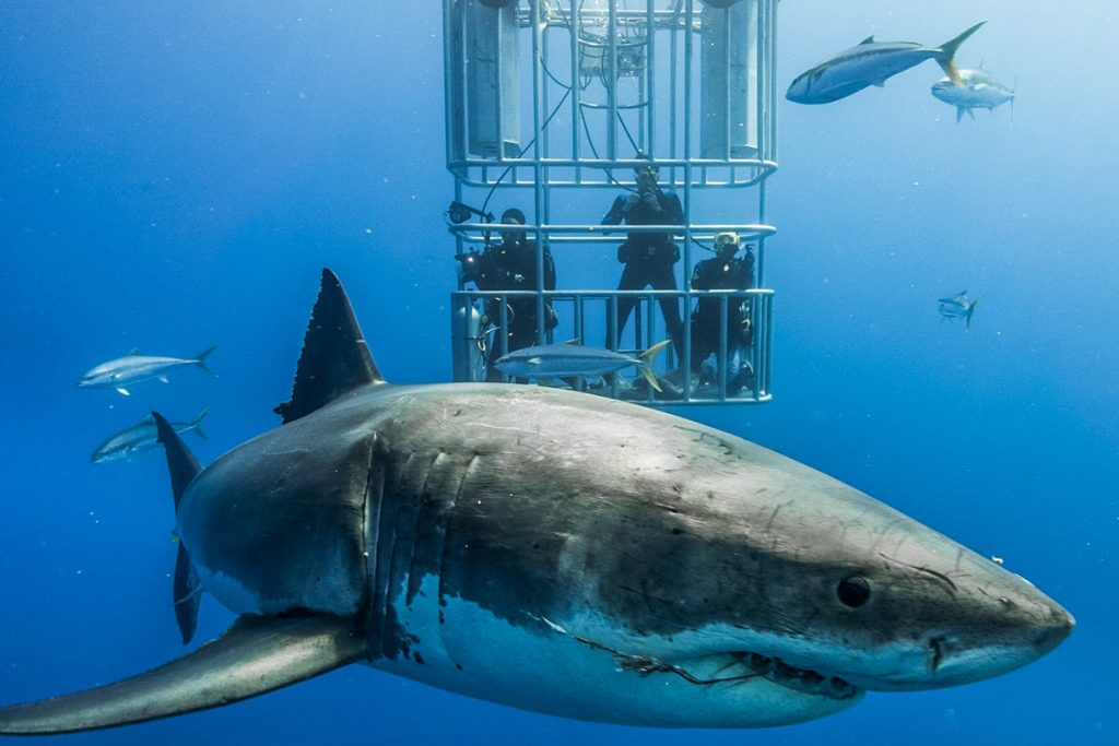 Are great white sharks endangered?