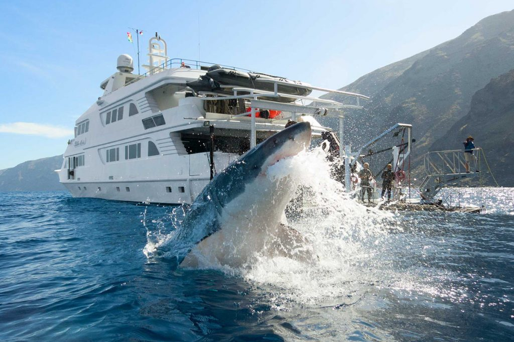 How the great white sharks really behave at Guadalupe Island?