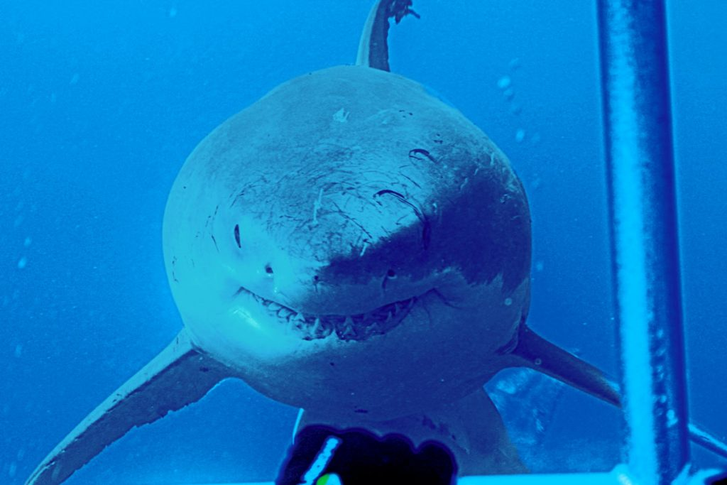 Do great white sharks give live birth?