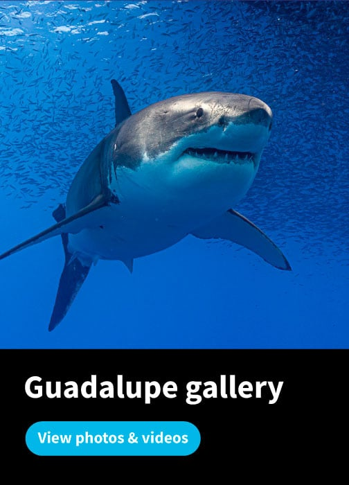 Guadalupe Great White Sharks Diving Gallery