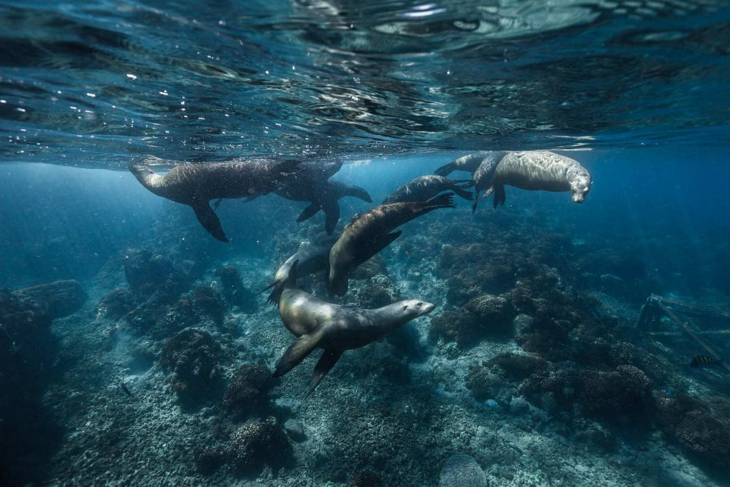 A group of sea lion swimming.
