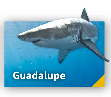 Guadalupe Great White Sharks Diving experience