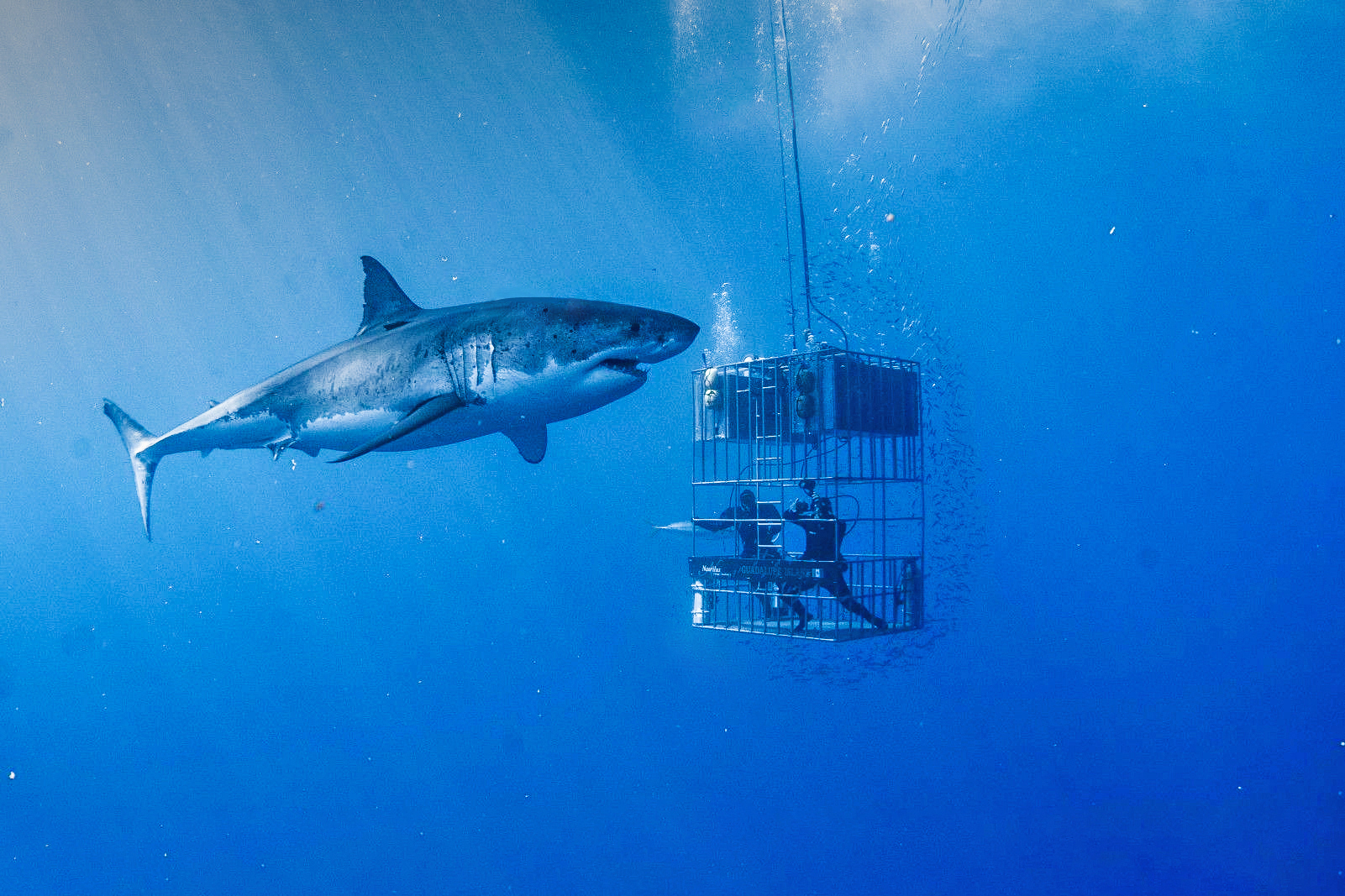 Great White Shark cage diving at Guadalupe Island - Nautilus Liveaboards