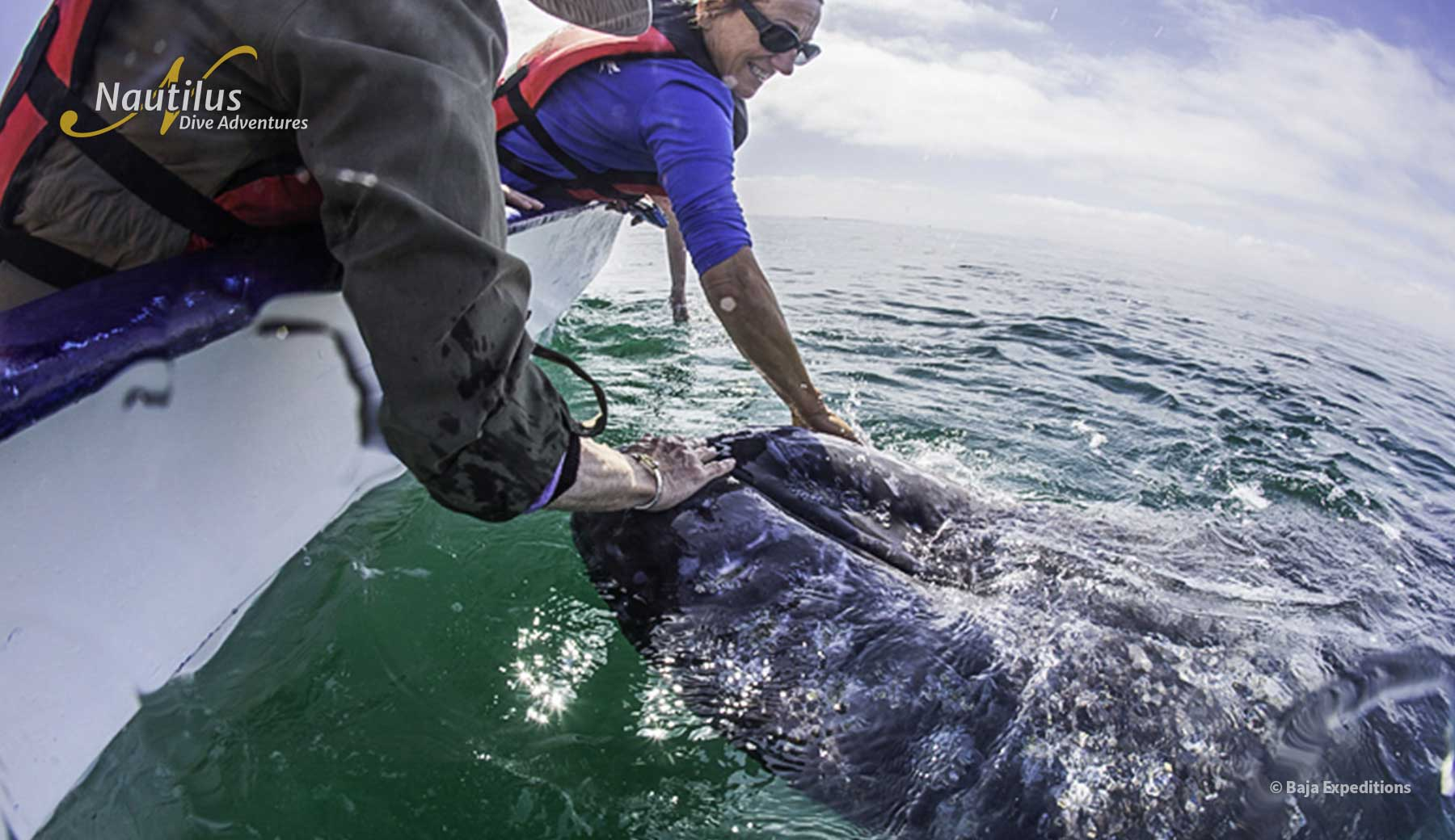Grey whale interacting with people on the boat