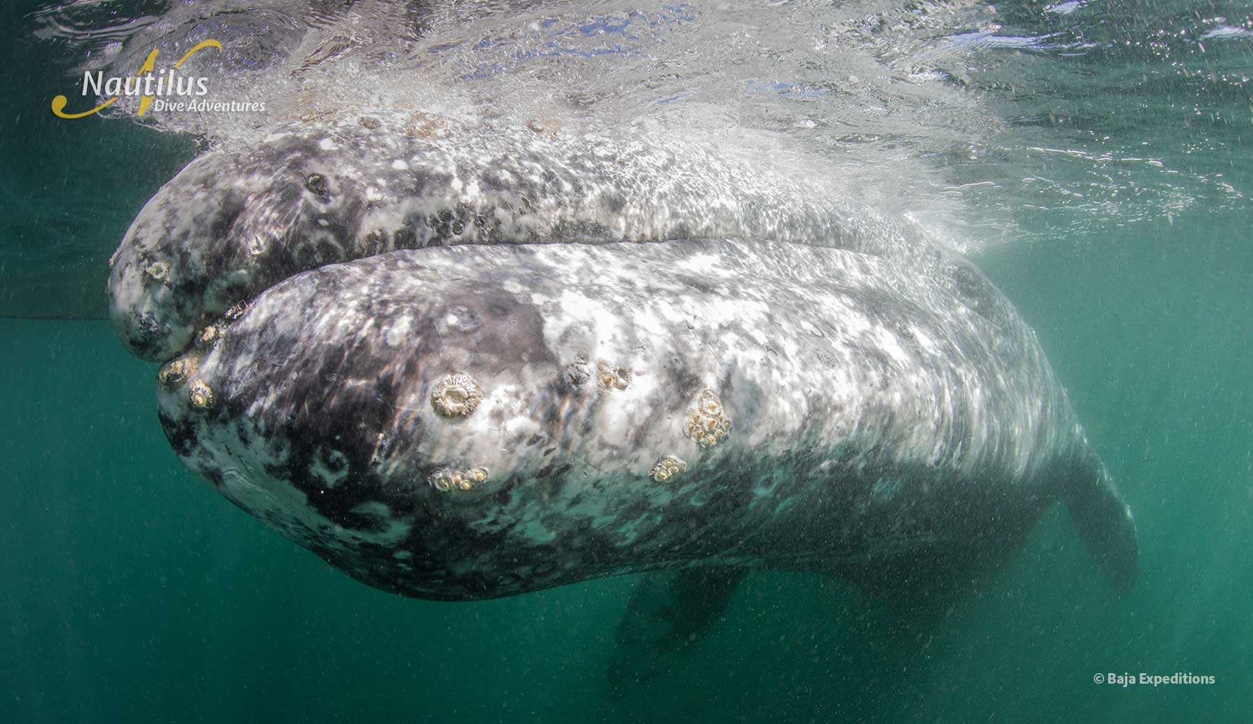 Grey whale underwater