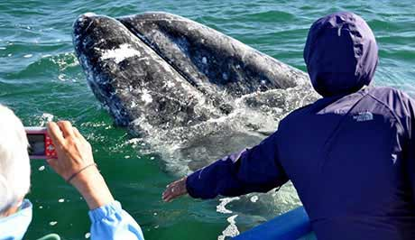 Interact with Pacific Grey Whales