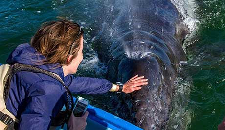 Guest interacting with grey whale