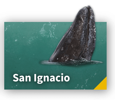 San Ignacio Gray Whales