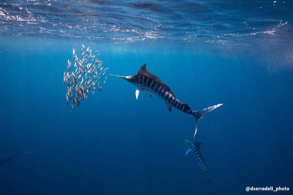 Striped Marlin chaising sardines