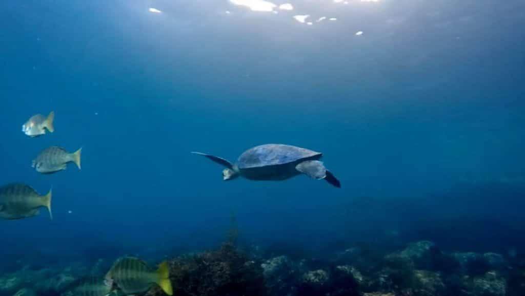 Turtle in the sea of cortez