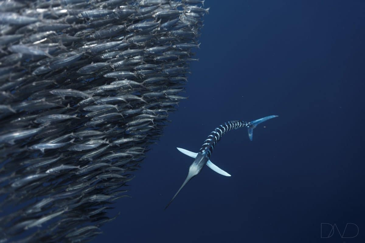 Striped Marlins VS Mexican Sardine Run