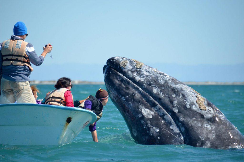 gray whales san ignacio lagoon