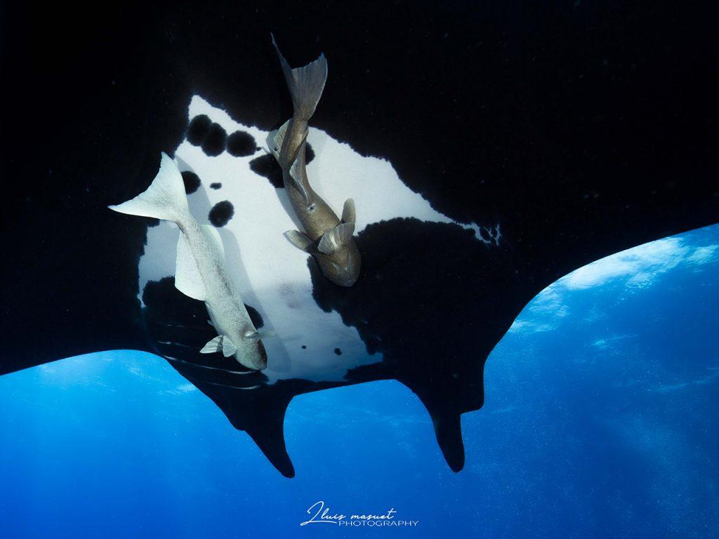 manta ray behavior