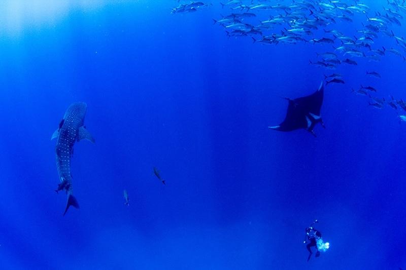whale sharks and manta rays in isla Socorro