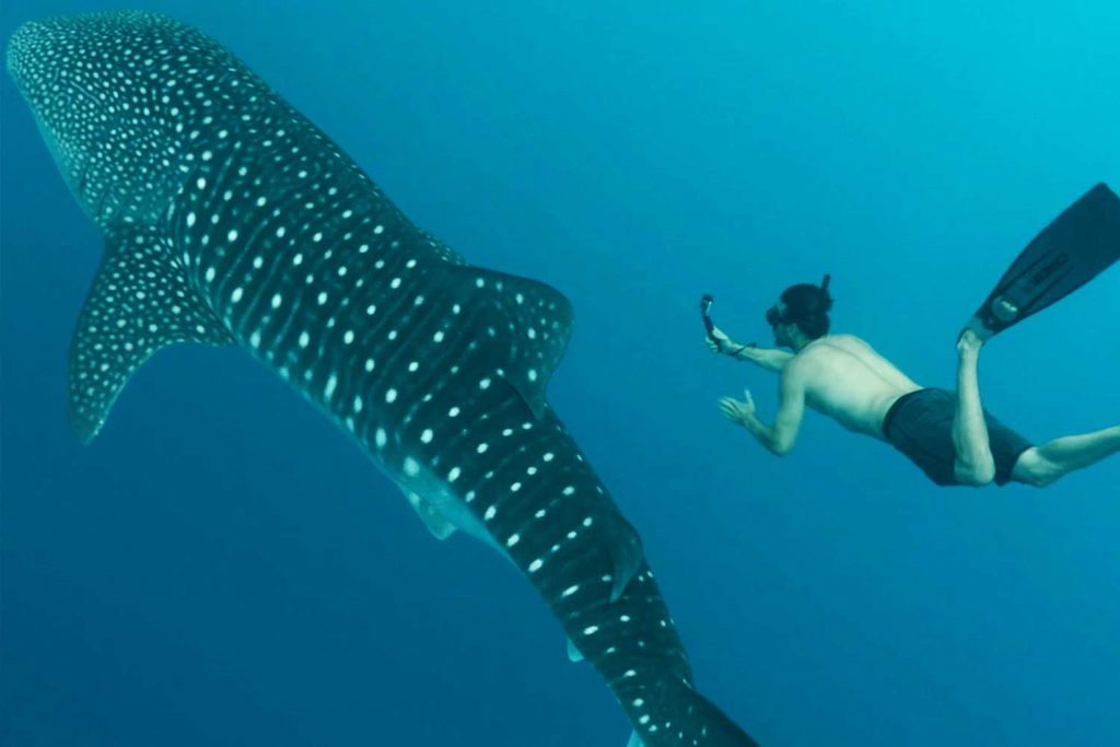 whale shark sea of cortez