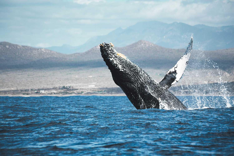 San Ignacio Whale Watching