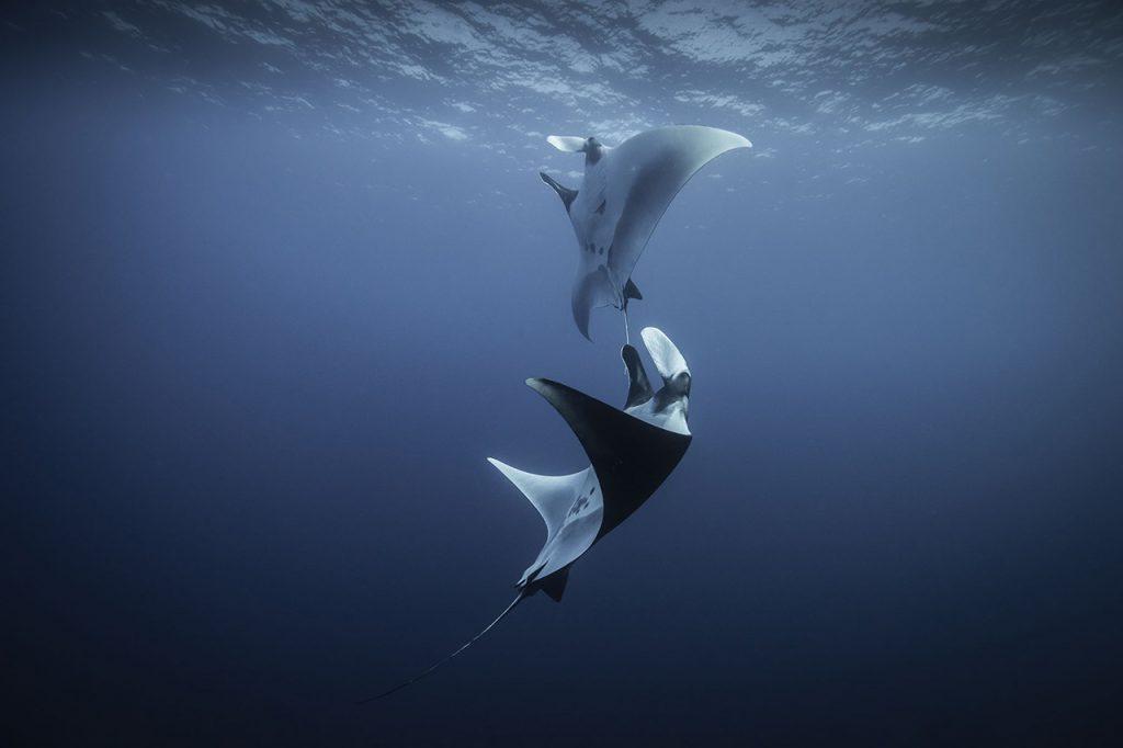 manta rays Socorro