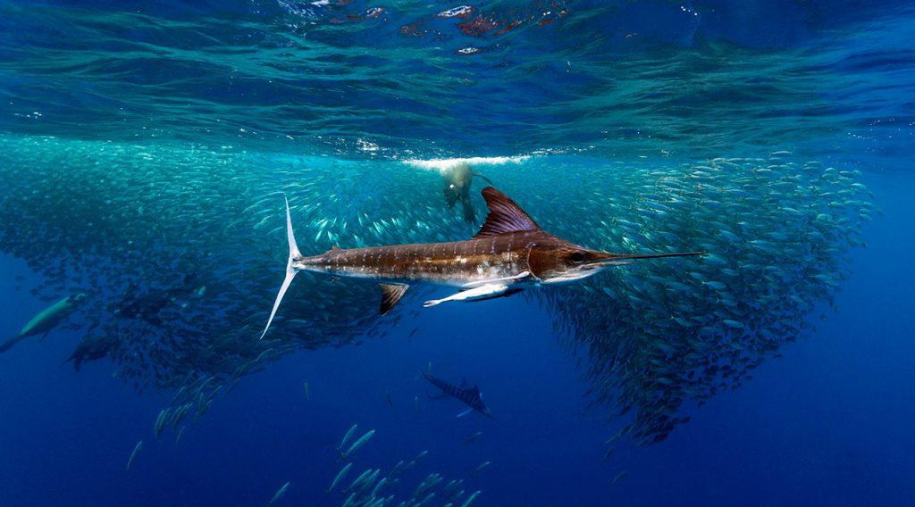 Mexico sardine run