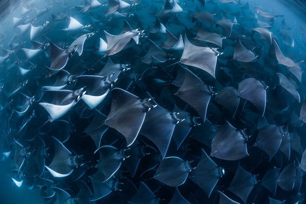 mobula ray migration sea of cortez
