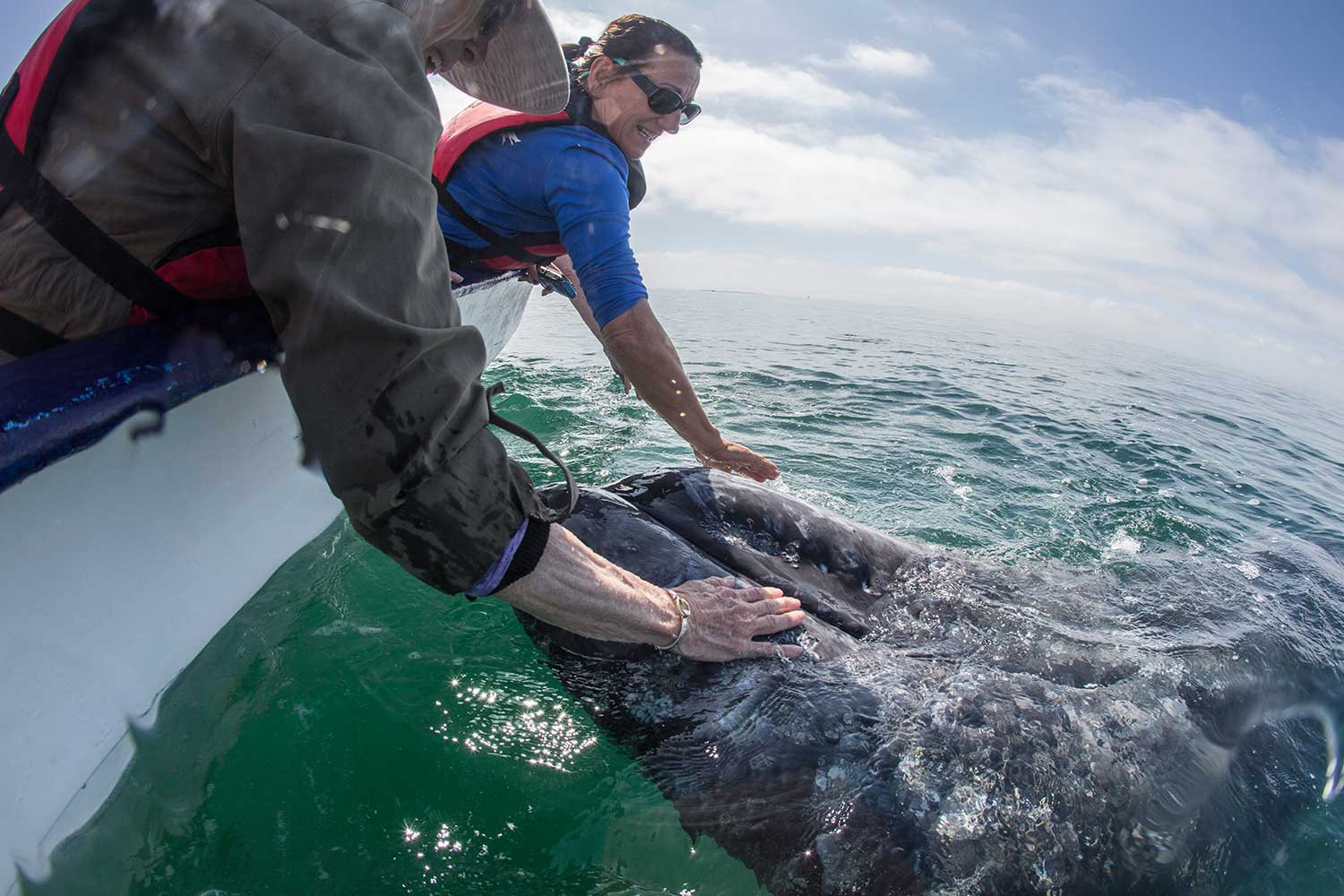 Guest interacting with gray whale