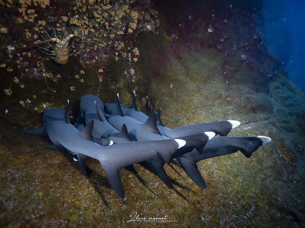 white tip sharks Socorro