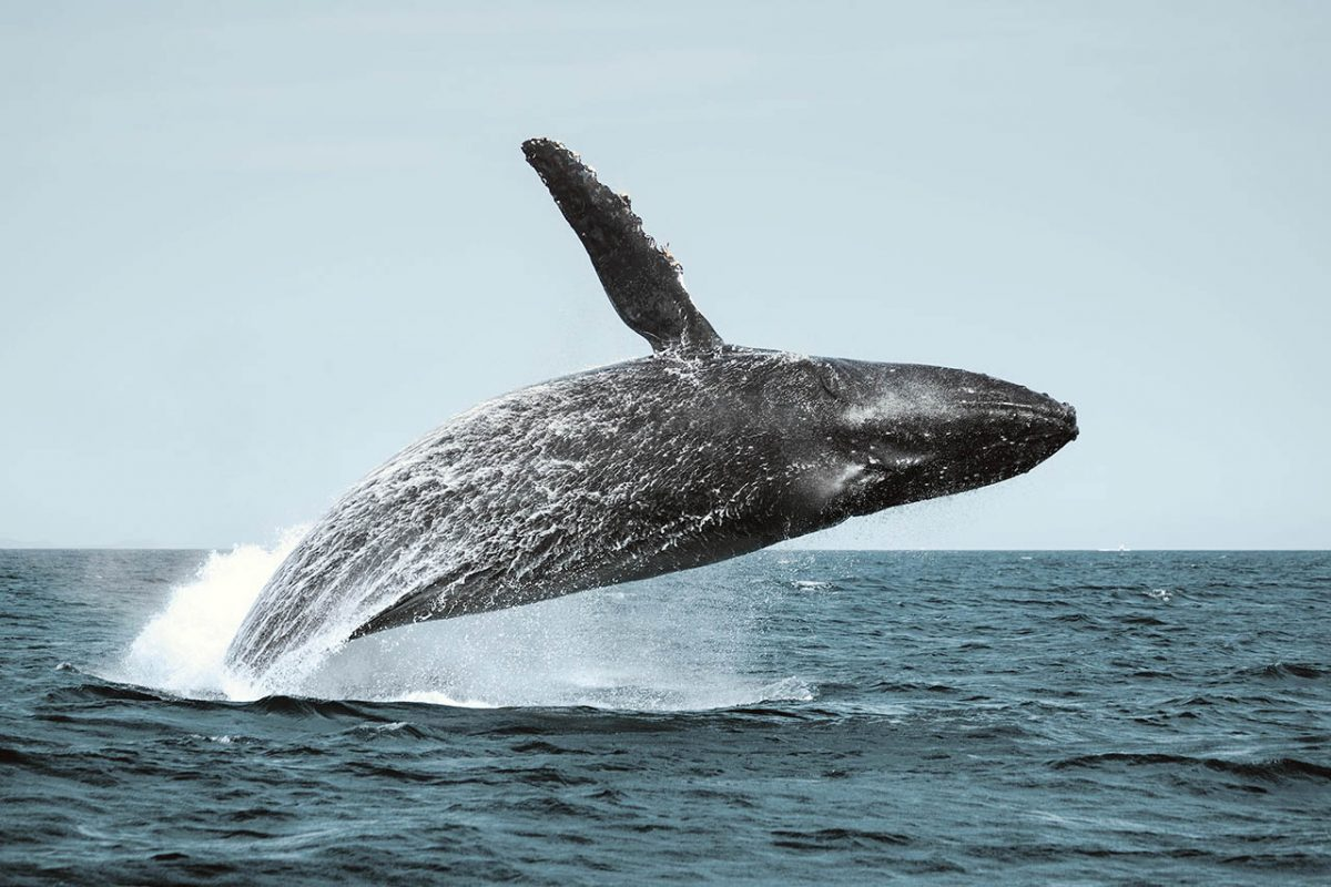 Giants of the Sea: Mexico Humpback Whales