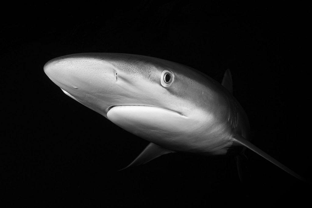 silky shark night diving
