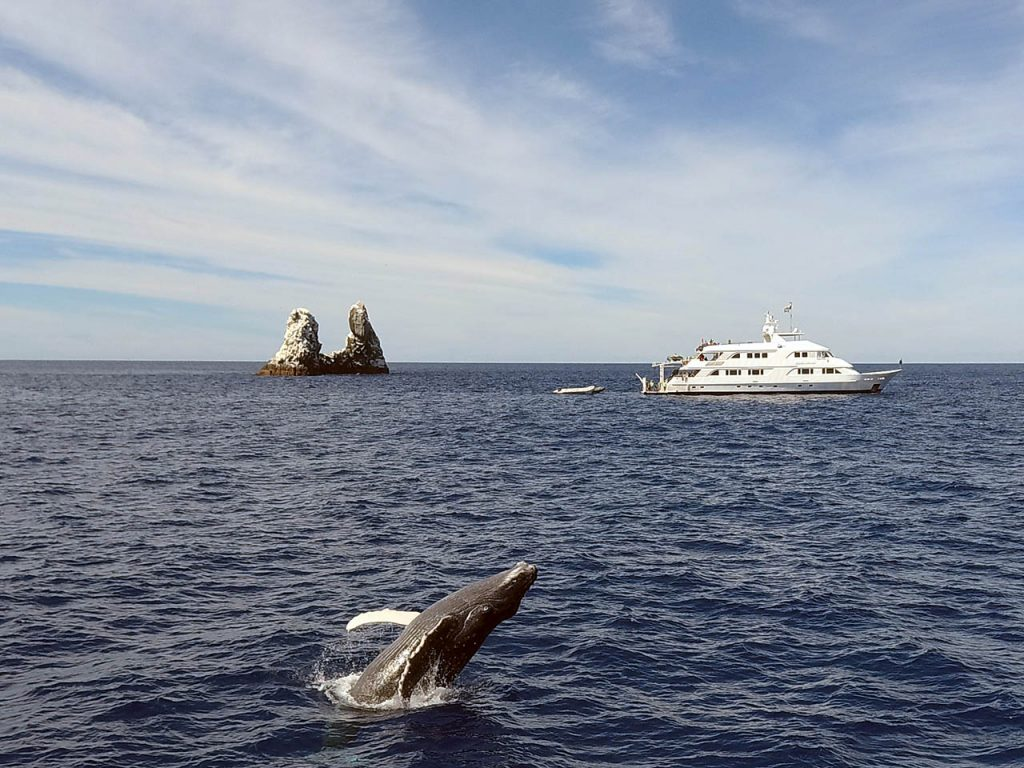 mexico humpback whales breaching