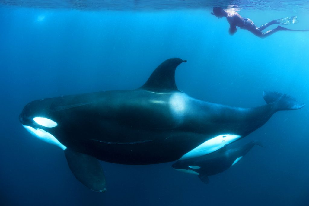 Orca Free Diving