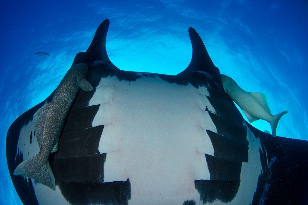 manta ray belly