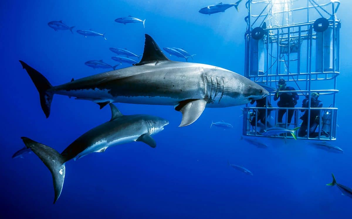 Top Six Reasons to Dive with Great White Sharks