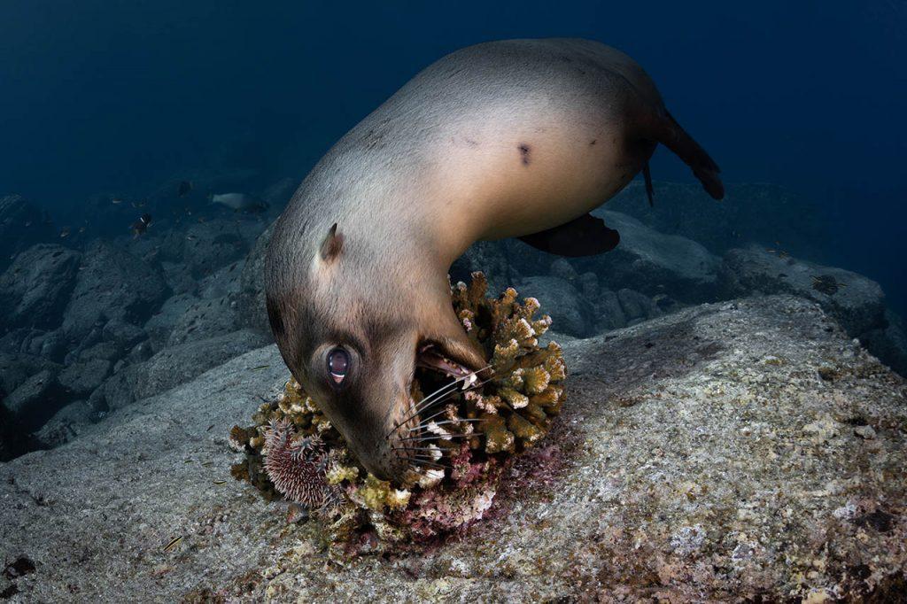 seal eating coral