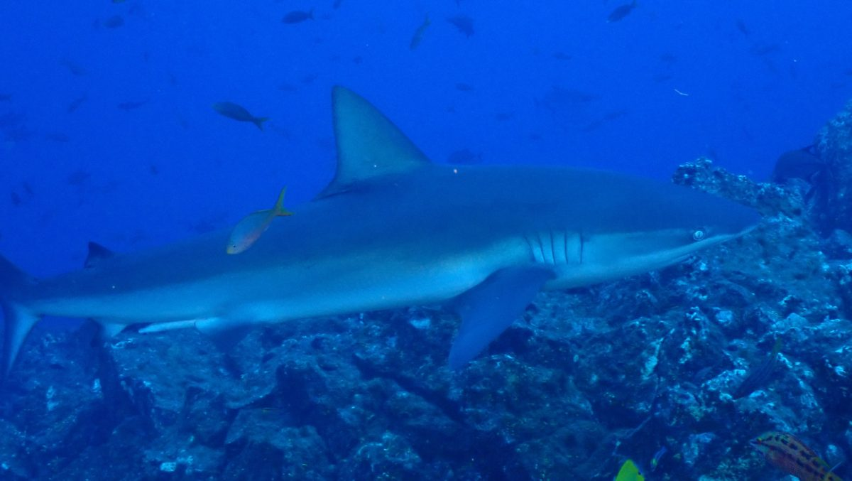 Hammerhead Sharks Patrolling the Dive Site