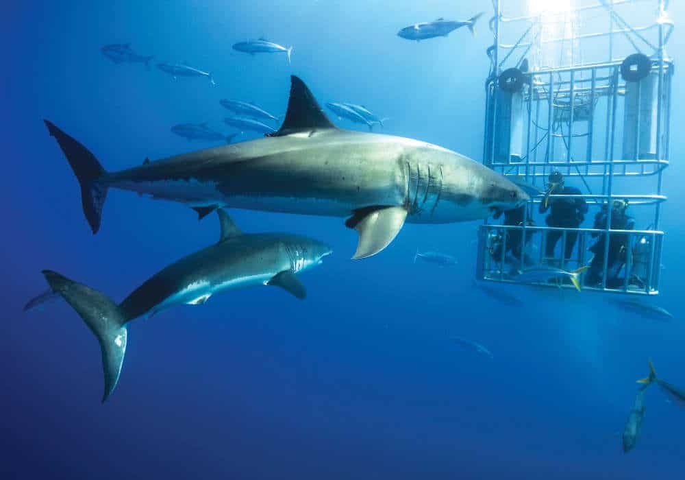 Two Sharks passing by the cage © Olivier Jahraus & Petra Brummel