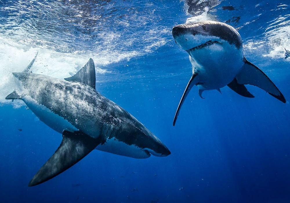Guadalupe - Two Great White Sharks - © Scott Davis