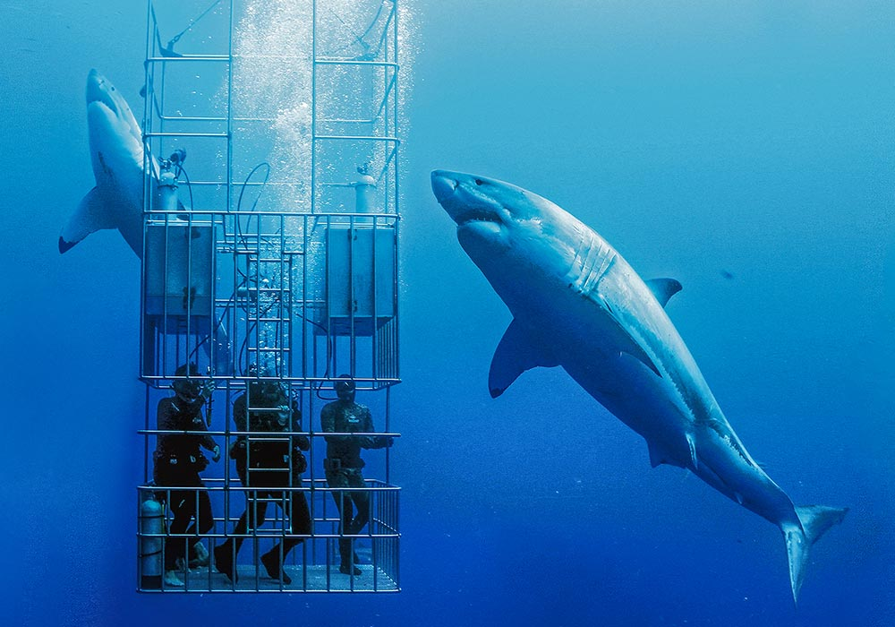 Two Sharks circling a cage © Dan Orr
