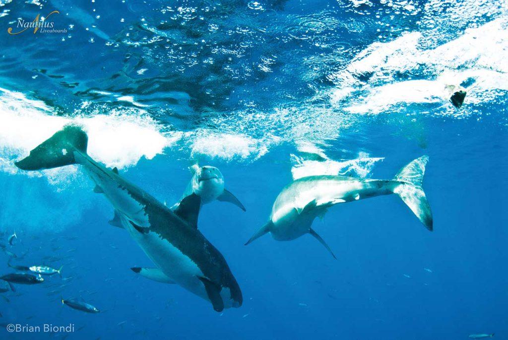 multiple great white sharks
