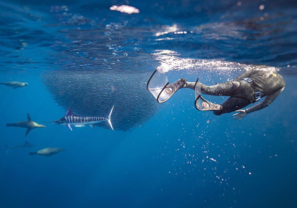 Magdalena Bay, Blue Striped Marlin - © Dany Taylor