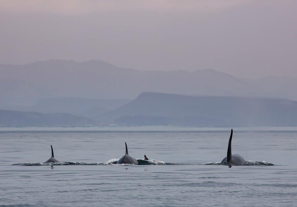 Sea of Cortez, Mobulas & Orcas - © Dany Taylor