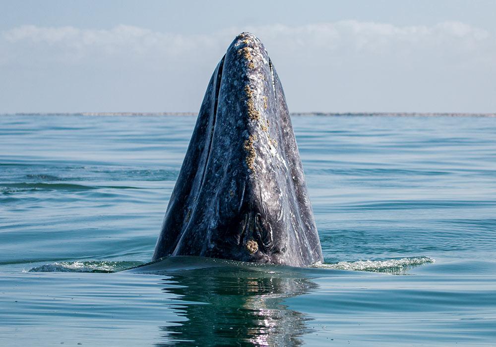 San Ignacio Lagoon & Magdalena Bay, Gray Whale Spy-Hop - © Scott Davis