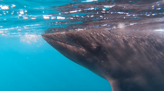 Interacting With a Big Pod of False Killer Whales