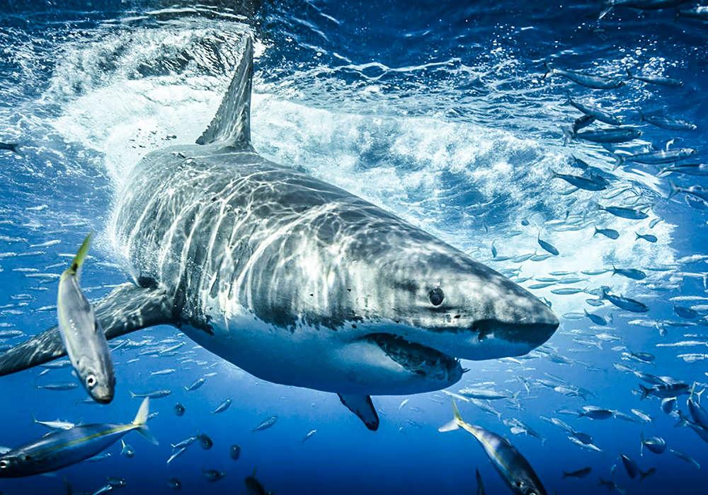 Shark entering water after a breach © Scott Davis