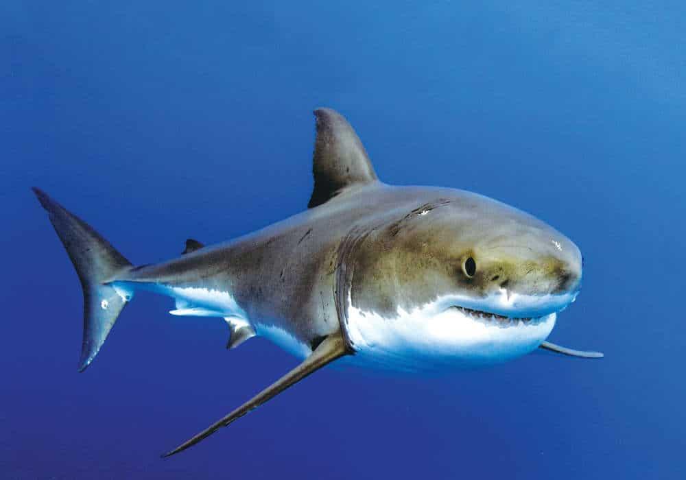 Shark into the blue © Geri Murphy