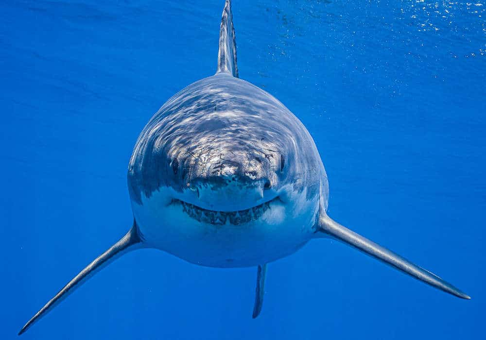 Shark looking at the divers © Dan Orr