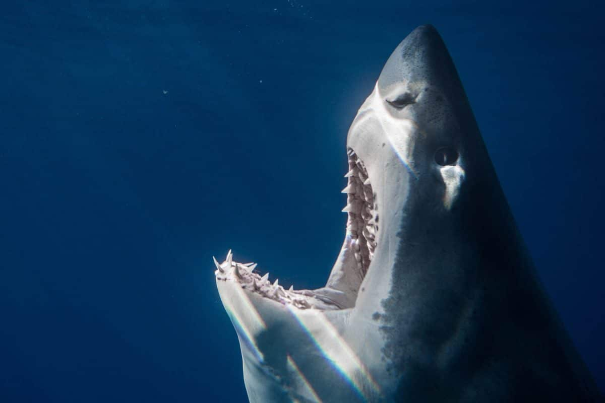dive with great white sharks Guadalupe