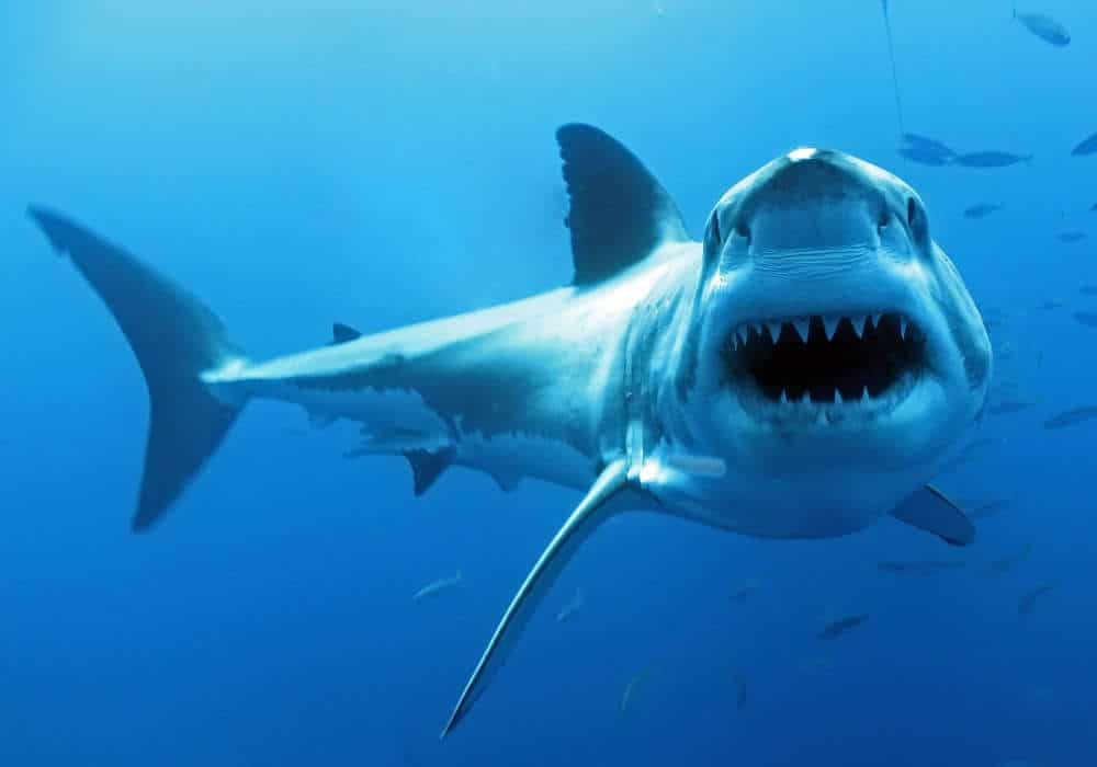 Shark Open Jaw - © Dan Orr